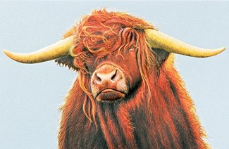 Scottish Highland Bull | Cow lover greeting cards