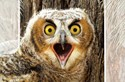 Great Horned Owlet (CG)
