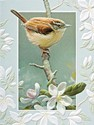 Carolina Wren (BKIN)