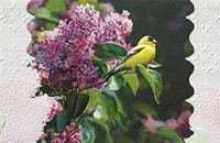 Goldfinch in Lilac (CO)