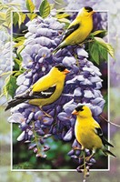 Goldfinch in Wisteria (EN)